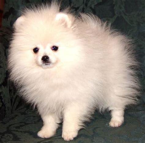 white pomeranian puppies for adoption white pomeranian puppies for sale for sale adoption in singapore adpost