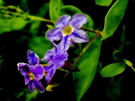 light purple flowers image flowers in bloom green purple flowers picture beautiful flower in bloom green
