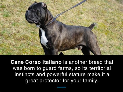 best guard breeds for families with children 25 best guard breeds for your family