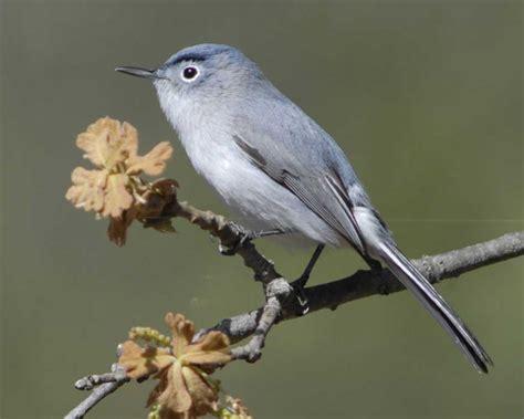 Nc Backyard Birds Blue Gray Gnatcatcher Audubon Field Guide