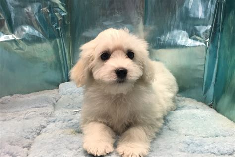 shih tzu puppies for sale melbourne poodle puppies x breeds picture