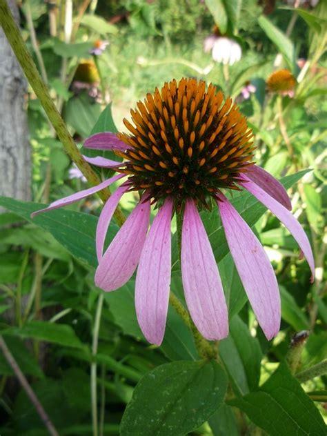 Echinacea Purple Coneflower T1310 4 echinacea coneflower purple coneflower domain pictures free pictures