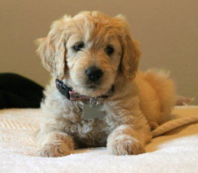 goldendoodle puppy wallpaper 25 best ideas about golden doodle puppies on