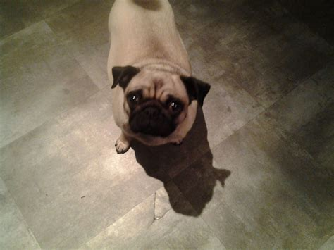 pugs for sale west midlands pugs for sale walsall west midlands pets4homes