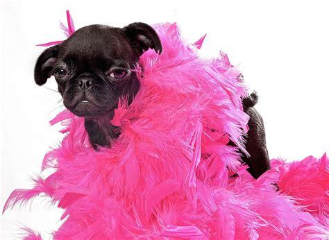 pink pug black pug puppy with pink boa by susan schmitz