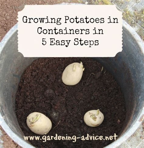 Growing Potatoes In Containers How To Plant Potatoes In Container Garden