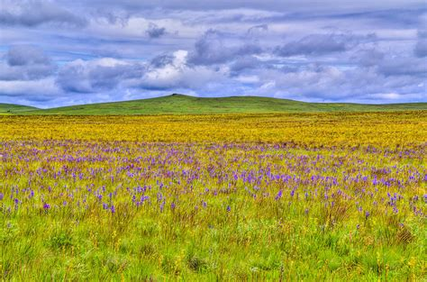 what is a prairie purple flowers on the prairie photograph by jen tenbarge