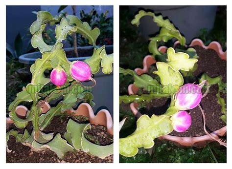 Pupuk Untuk Bunga Buah Naga gambar tabulot buah naga mini mitalom