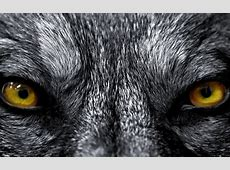 Волк, глаза, жёлтые обои для рабочего стола, картинки ... Growling Black Wolf With Yellow Eyes