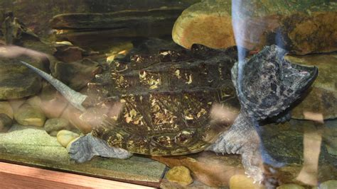 alligator snapping turtle wallpapers hd