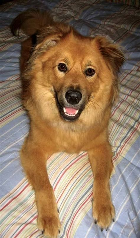 chow chow cross breed with golden retriever 25 best images about golden retriever chow on chow chow the golden and puppys