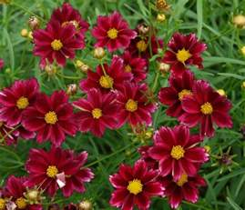 fall blooming perennials on pinterest perennials 47 best images about zone 5 on pinterest deadheading