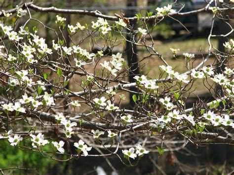 dogwood tree pictures facts on dogwood trees