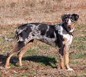About all catahoula leopard dog catahoula leopard dog save a rescue