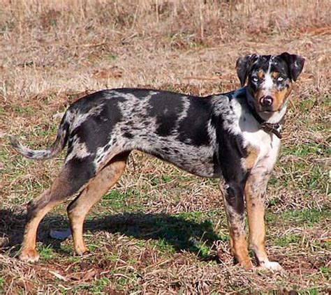catahoula leopard dogs adopt a cat or a at savearescue