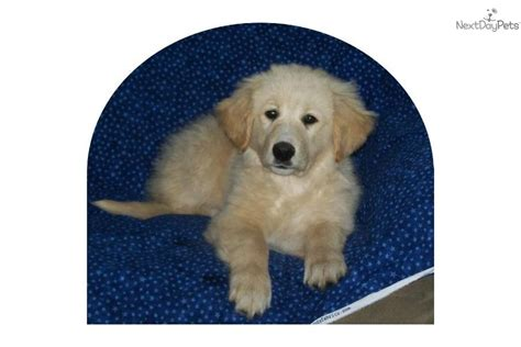 golden pyrenees puppies for sale meet a golden retriever puppy for sale for 500 golden pyrenees puppy
