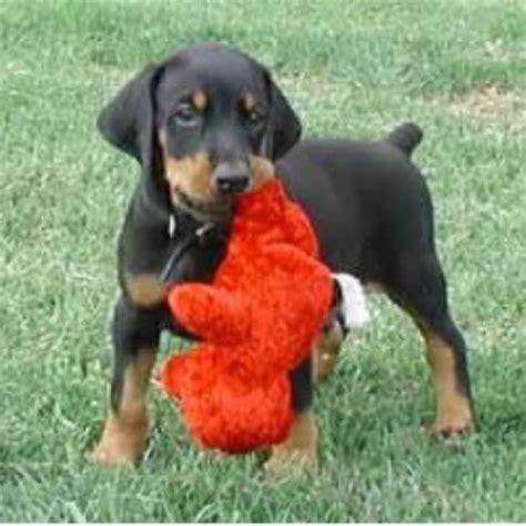 doberman puppies for sale in oregon doberman puppies for sale at k nine dobermans doberman pinscher breeder in we