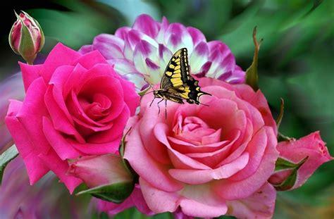 imagenes impresionantes de rosas rosa rosas 183 imagen gratis en pixabay