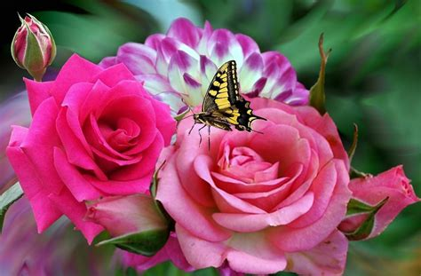 imagenes goticas rosas rosa rosas 183 imagen gratis en pixabay