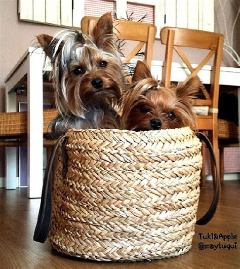 yorkies on instagram 99 best images about great yorkie pics on ralph waldo emerson yorkies and