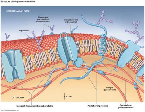 small molecules pass   phospholipid