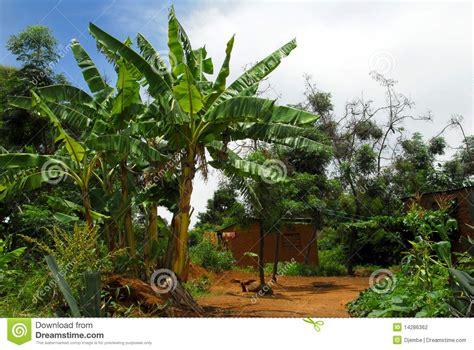 Plantation House Plans Banana Tree Stock Photography Image 14286362