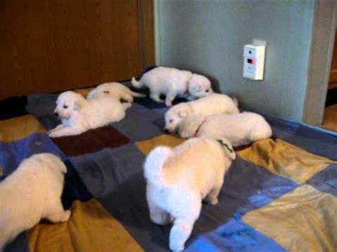 3 week puppy care german shepherd puppy care puppy