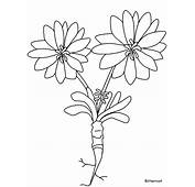 Bitterroot Flowers Coloring Pages &amp Book