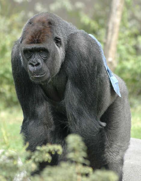 Gorilla0001