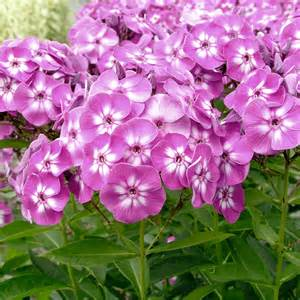 phlox paniculata purple kiss dobbies garden centres
