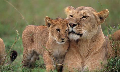 imagenes animales peligrosos los sue 241 os con animales salvajes y su significado