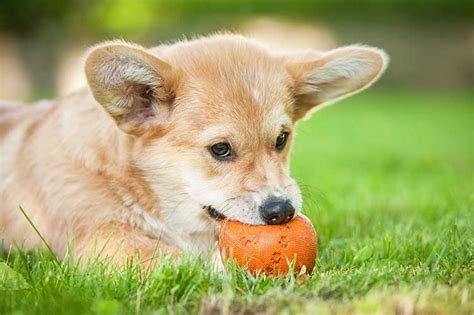 what to give a teething puppy teething relief for puppies nation