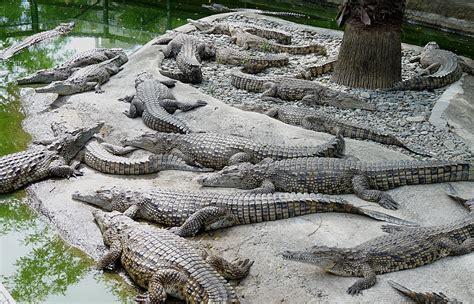 File:Crocodile farm.jpg - Wikimedia Commons