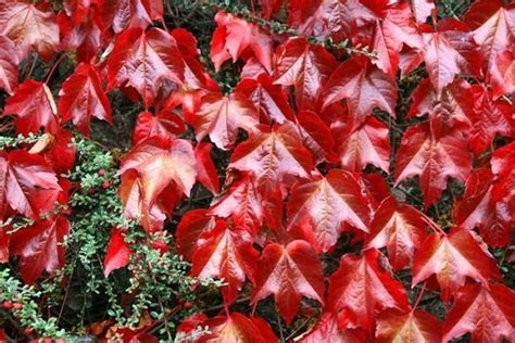 vite americana in vaso coltivare la vite canadese piante in giardino consigli