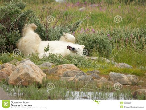 wallowing polar 1 royalty free stock photography image 33335007