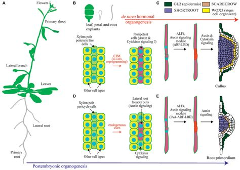 pattern formation regeneration frontiers post embryonic organogenesis and plant