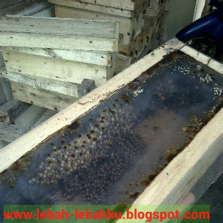 Bibit Kaliandra Jogja cara penempatan koloni lebah klanceng yang benar ternak
