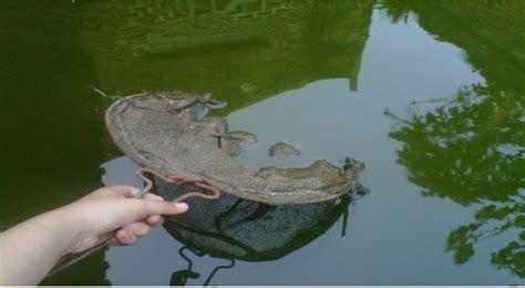 Pakan Ikan Lele Yang Masih Kecil cara berternak ikan lele di kolam agar menguntungkan