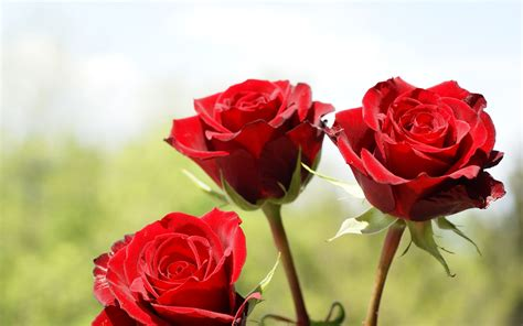 theme red rose download red rose wallpapers download hd desktop wallpapers 4k hd