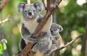 koala bear iphone wallpaper