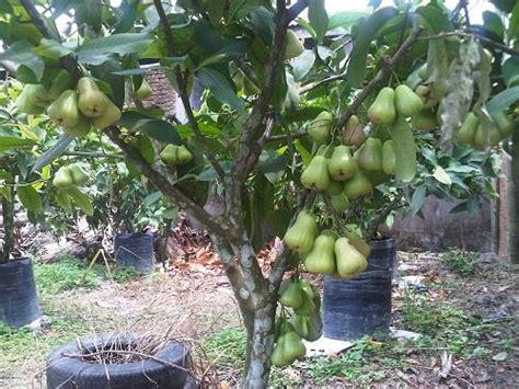 Min 100 Biji Benih Buah Jambu Biji Alpukat jual bibit buah bibit jambu deli supergreen harga