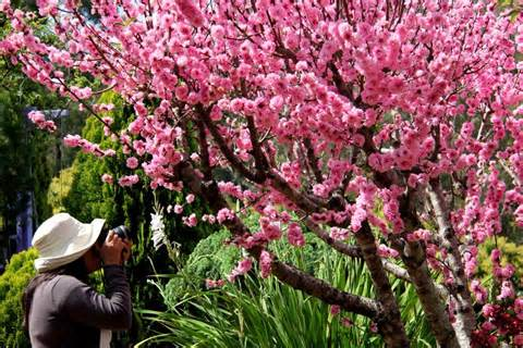cherry blossom tree in winning garden abc news