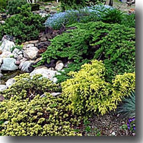 piante nane da giardino conifere nane conifere nane