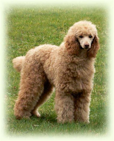 moyen poodle lifespan about the poodle aussiedoodle and labradoodle puppies