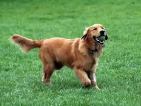 golden retriever pictures and information breed