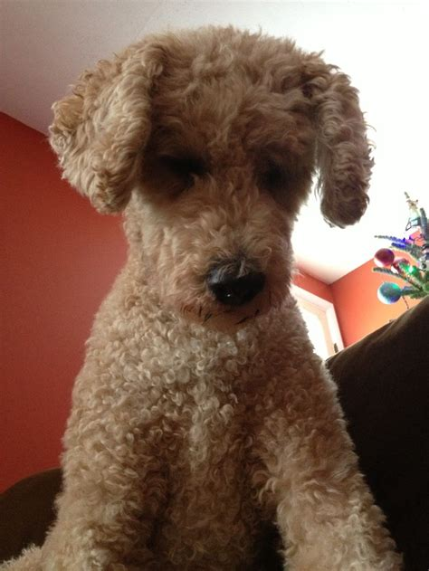 goldendoodle haircuts goldendoodle short haircut pictures