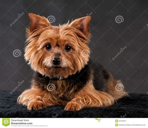 what is the best yorkie terrier shoo out there and condistioner yorkshire terrier stock photo image 54733227
