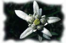 fiore giallo verdognolo stella alpina edelweiss leontopodium alpinum