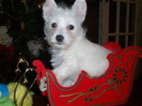 small rescue ma west highland white terrier rescue massachusetts