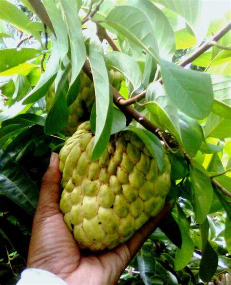 Jual Bibit Mangga Alpukat Semarang buah srikaya jumbo buah buah impian
